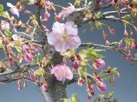桜盆栽珍しい花芽付き!河津桜の盆栽(大)2017開花【現品】【送料無料】