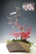 盆栽梅(鈴鹿の関)の寄せ植え(ピンク)【現品】【送料無料】