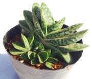 フジコダカラ 多肉植物