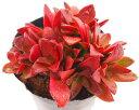 もみじ祭り(モミジマツリ)クラッスラ属 多肉植物 9cmポット観葉植物 雑貨 おすすめ インテリア 暮らし 植え付け 挿し木 実生 冬型 夏型