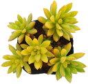 サンライズマム セダム属 多肉植物 9cmポット