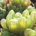 玉露 (ギョクロ)【ジュエルプランツ】ハオルチア属 多肉植物 9cmポット(1~3頭)