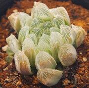ピリフェラ ジュエルプランツ ハオルチア 多肉植物