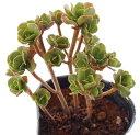 チョコチップ アエオニウム属 多肉植物 9cmポット