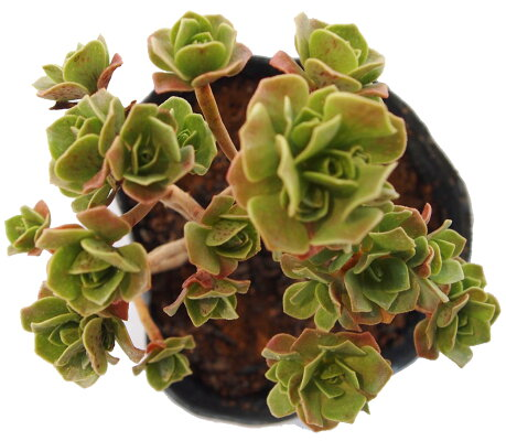 Aeonium'ChocolateTip'