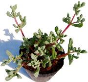 ハクホウギク オスクラリア 多肉植物