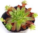 ビトム センペルビウム属 多肉植物 9cmポット観葉植物 雑貨 おすすめ インテリア 暮らし地植え 鉢植え 子株 寒さ 紅葉