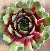 マジョノ センペルビウム 多肉植物
