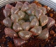 ドドソン デラックス ジュエルプランツ ハオルチア 多肉植物