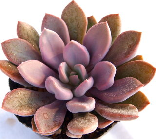 Graptoveria'topsydebbi'