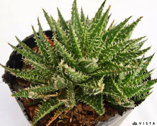 ディスコウォルシュ属不明多肉植物9cmポット