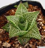 テッセラータ ハオルチア属 【ジュエルプランツ】多肉植物 9cmポット