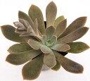 澄江(スミエ) エケベリア属 多肉植物 9cmポット