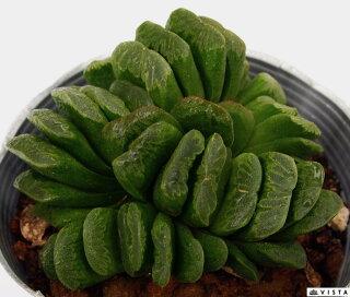 Haworthia'Greengyokusen'