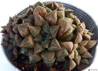 Haworthia'Sugarplum'