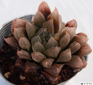 Haworthia'bluelens'