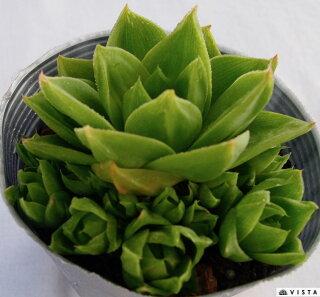 Haworthiaplanifolia