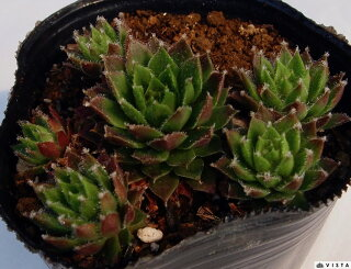 Sempervivum 'Striker'