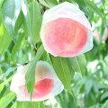 和歌山田中農園の桃 秀品2kg 6玉〜8玉 こだわりの美味しい桃 品種選べます 送料無料 予約販売