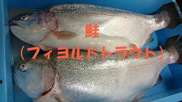 鮭フィョルドトラウト