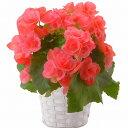ベゴニア ピンク リーガス 4.5号 フラワーギフト お花 鉢植え 鉢...