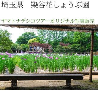 日本紀行埼玉縣染谷花shobu園(nk11-4519)本店原始物照片銷售室內裝飾畫框Photo frame,Someya hana shobu garden