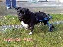 【1カ月レンタル延長】犬の車椅子 K9カート スタンダード 後脚サポート S(5.1〜11kg)用 パグ ポメラニアン【介護用品】 老犬 高齢犬 …