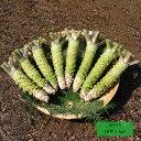 【業務用】本わさび 1kg(大サイズ) 伊豆産 わさびのマルキチ 生わさび わさび 山葵 ワサビ 調味料 薬味