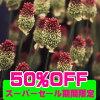 秋植え球根アリウムスファエロセファラム丹頂10球Alliumsphaerocephalum【OrnamentalOnion】