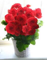 薔薇ののように大きくゴージャスな【お母さん 遅くなってごめんね】大輪ローズ咲きベコニア ...