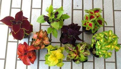 葉色&葉の形の組み合わせで夏のお庭が個性的に光るセット価格で通常@199円x5鉢【セットでお徳...