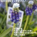 秋植え球根 ムスカリ タッチオブスノー 5球 球根 セット ...