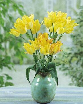 【球根】枝咲き チューリップ サンシャインクラブ 6球 セット【 お届け中 】Tulip sunshine ガーデニング 秋植え球根 寄せ植え 庭植え 花壇 桃花 黄花【コンパクト便】
