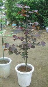 パープルのハート型の葉がカラーリーフファンに超人気 【木】ハナズオウ フォーレストパンジ...
