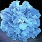 ムクゲ 木槿 むくげ ブルーベリー 5号ポット 鉢植え Hibiscus syriacus blueberry 花木 庭木 夏苗 低木 青花 木槿 むくげ 八重 アオイ科 フヨウ属