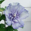 ムクゲ 青いシフォン 5号ポット 鉢植え Hibiscus ...