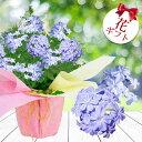 秋の贈り物 花鉢 ギフト 花 プレゼント ルリマツリ 青花