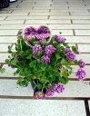 可愛い紫色のバイカラーの小花カトレア クローバー 1鉢Trifolium repens cv. Cattleya Clover