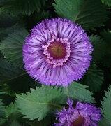 ムラサキ セントラセラム パイナップル サングリア Centratherum intermedium ガーデニング イングリッシュ ガーデン