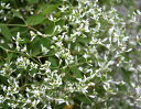 ユーホルビア ダイアモンド フロスト 1鉢 3.5号  Euphorbia hybrid Di…