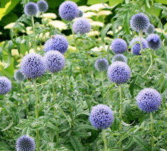 【イングリッシュガーデンに使える多年草】夏に青い玉状の花を咲かせますルリタマアザミ ブル...