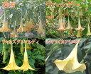 夏の間ラッパ状の花を下向きに咲かせるエンジェルトランペット 1鉢10種類から選べるBrugmansia...