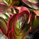 多肉植物 カランコエ デザートローズ 一鉢 3.5号 ベンケイソウ カランコエ 観葉植物 室内観賞