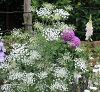 アンミグレースランド1鉢レースフワラー宿根イングリッシュガーデン花苗多年草花壇ガーデン