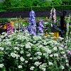 【オルレアグランディーフローラーOrlayagrandifloraガーデニング花苗花苗イングリッシュガーデンガーデン花壇鉢植え寄せ植え】