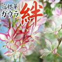 濃いピンク色の縁取りが可愛らしい♪ガウラ 絆【きずな】 1鉢 Gaura Lindheimeri