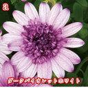 新品種 ダブルオステオスペルマム 1鉢11色 【イングリッシュガーデン 鉢植え …