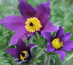 大輪花で強い耐寒性がありますオキナ草の園芸種イングリッシュガーデンに使える宿根草プルサテ...