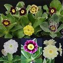 色々な色合いが出て楽しいプリムラはマニアの間で人気Happy Garden新登場プリムラ プベスケンス...