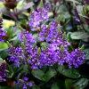 新登場ベロニカグレース苗1鉢Veronicagrace耐寒性常緑多年草寄せ植え花壇植え青地植え庭植えナチュラルガーデンイングリッシュガーデンカラーリーフ
